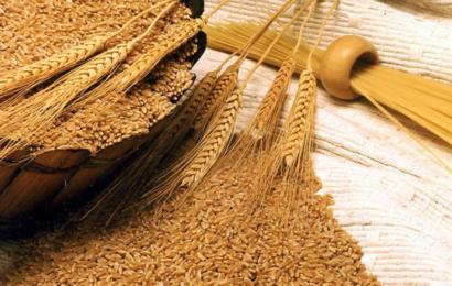 القمح الصلب 'معالي' يُسيطر على أكثر من 40 % من مساحات الزراعة بتونس