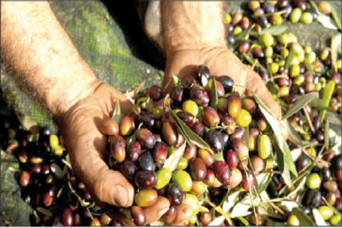 عائدات صادرات زيت الزيتون فاقت الـ 2 مليار دينار