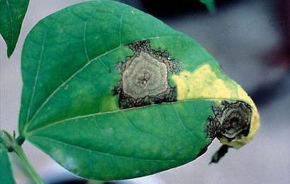 الأمراض المتسببة عن الفطر فوموبسس Phomopsis spp