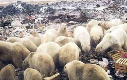 روسيا: اعلان حالة الطوارئ بعد هجوم الدببة!